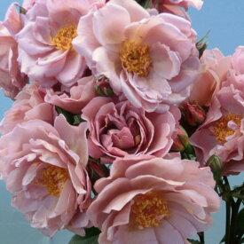 【12/29-1/6出荷停止】バラ苗 2年大株 4号 ラベンダーピノキオ Floribunda Roses F0349 送料無料 贈答 大感謝祭 お歳暮