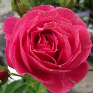 バラ苗 2年大株 4号 オールドパル Floribunda Roses F0904 送料無料 贈答 バレンタイン