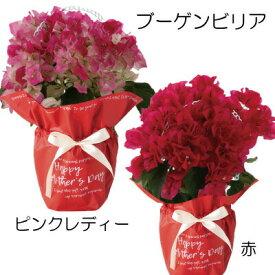 ブーゲンビリア 赤 ピンクレディー 4.5寸 鉢径15cm H約25cm 花鉢 鉢植え 来年 送料無料 沖縄+1000円 贈答 母の日 早割