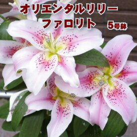 母の日 早割 ユリ ファロリト 5号鉢 ユリの花鉢 ギフト 鉢植え 来年も 花のフラワー ランキング上位 送料無料 球根 ピンク