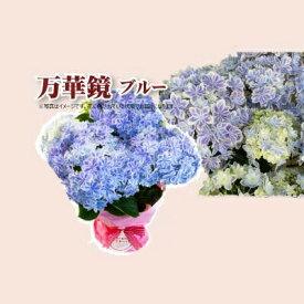 母の日 早割 贈答 早割 銀座の紫陽花 アジサイ 万華鏡 青 5号鉢 鉢植え ギフト 送料無料 沖縄+1000円