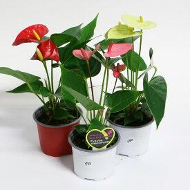 小さいアンスリウム 3種セット 赤 白 ピンク 3号 送料無料 W10-15 H25-30 鉢植え ランキング おすすめ 贈答 母の日 早割