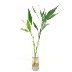 観葉植物 ドラセナ サンデリアーナ 卓上グリーン 送料別