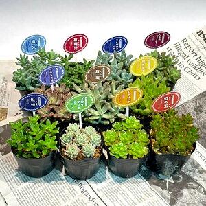 選べる 多肉植物 2.5寸 小さくてかわいいサイズ 買えば買うほどお得 観葉植物 インテリア 寄せ植え プレゼント