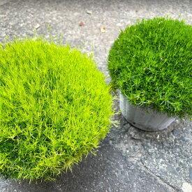 アイリッシュモス(サギナ) モコモコ 4.5号 直径15cm インテリア グランドカバー 観葉植物 モフリッチ スコッチモス