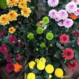 おまかせ 菊の鉢植え 花鉢 盆 内祝い ギフト プレゼント 盆栽 花壇 園芸 花のプレゼント あす楽 観葉植物