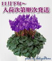 ミニシクラメン【セレナーディアアロマブルー】5号鉢(約15cm)【送料無料】【smtb-s】