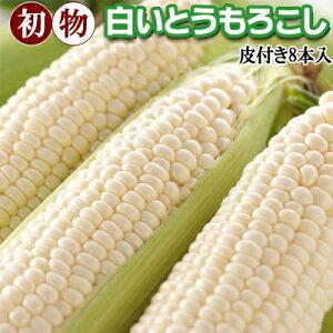 初物 白いとうもろこし L〜2Lサイズ 8本入 北海道 富良野産 朝もぎ ホワイト コーン 北海道産