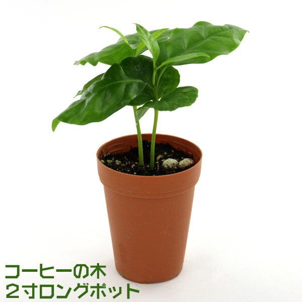 【数量限定】 コーヒーの木 2寸ロングポット