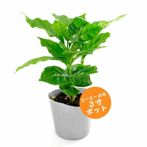 コーヒーの木 3寸ポット(全長約25cm)