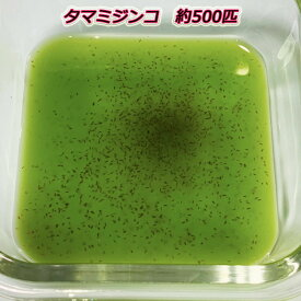 ミジンコ【タマミジンコ】500匹前後(0.5g)〜 クロレラ水に入れて発送致します。