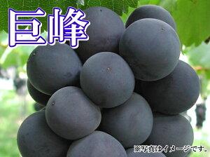 須坂市 山吉果樹園伝統の名品 巨峰【種なし】