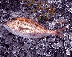【紀州産】活〆真鯛[養殖](1尾約1kg)