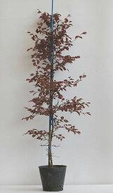 ときわまんさく高さ80cm紅花・紅葉種