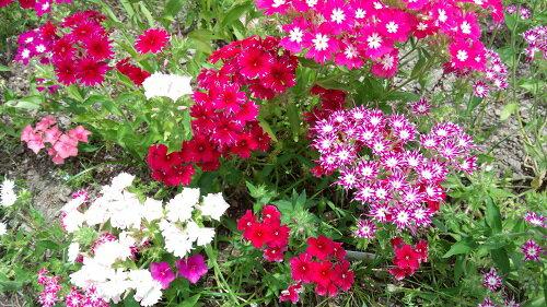 【エディブル・フラワー2パックセット】【日時指定可】【花は50〜70輪程度です】冷蔵保存にて夏季は5日,冬季は一週間程度