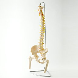【実物大】脊椎模型 脊柱模型可動型 脊柱模型 大腿骨付きモデル 人骨格模型 人体模型 神経/ヘルニア/椎間板