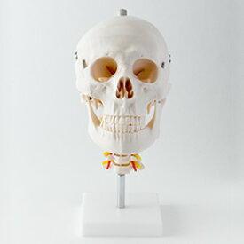 頭蓋骨模型 頸椎付属(3分解) トワテック