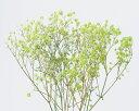 【プリザーブド】大地農園/アンティークプリザ・カスミ草 グリーン 0005-0-700