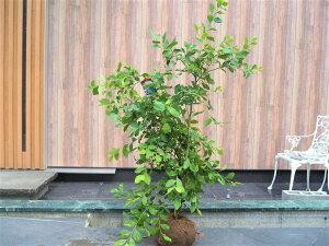 ブルーベリー パウダーブルー 植木 苗 庭木 根巻き苗 高さ0.7m 幅0.3m ラビットアイ系 ベリー 果樹 果樹苗 苗木