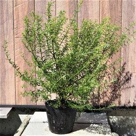 ウエストリンギア カラーリーフ 13cmポット 寄せ植え リース ハーブ苗 洋風ガーデン
