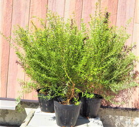ウエストリンギア3本セット カラーリーフ 13cmポット 寄せ植え リース ハーブ苗 洋風ガーデン