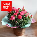 【母の月】【遅れてごめんねサンキュー価格】「ピンクカーネーション」カーネーション鉢 色おまかせ 鉢植え 花鉢 …