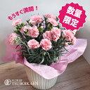 【母の月】【遅れてごめんね】「ピンクカーネーション」カーネーション鉢 色おまかせ 鉢植え 花鉢 花 プレゼント…