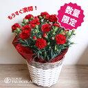 【母の月】【遅れてごめんね】「レッドカーネーション」カーネーション鉢 色おまかせ 鉢植え 花鉢 花 プレゼント…