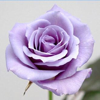 """三得利蓝玫瑰""""喝彩的掌声--"""""""