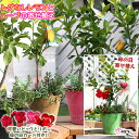 【母の日寄せ植え】トゲなしレモンとハーブの寄せ植え ( アートストーン22cm鉢植え )【 送料無料 】<早期予約特典!! ポイント10倍♪…