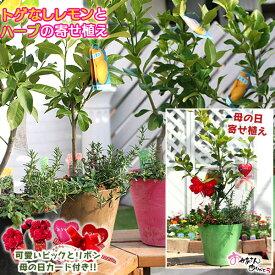 【母の日寄せ植え】トゲなしレモンとハーブの寄せ植え ( アートストーン22cm鉢植え )【 送料無料 】<早期予約特典!! ポイント10倍♪ 4/30まで>
