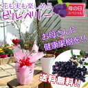 【送料無料】母の日のプレゼント健康果樹の『鉢植えビルベリー』 6号鉢植え <4/30までポイント10倍>