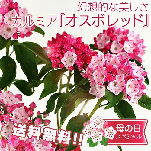 【送料無料】母の日のプレゼントカルミア『オスボレッド』5号鉢 <4/30までポイント10倍>