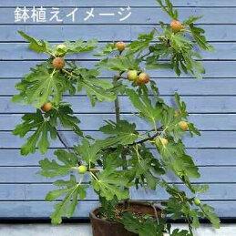 イチジク鉢植えイメージ