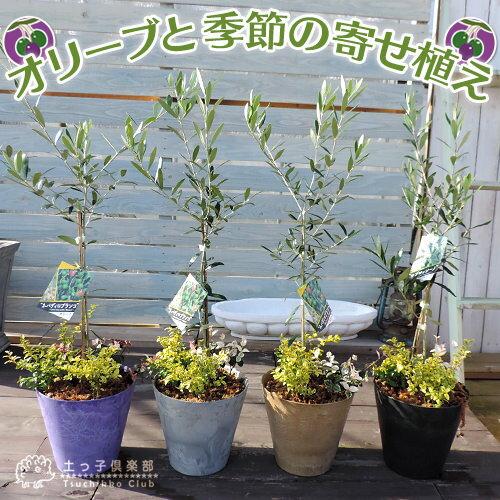 『オリーブと季節の寄せ植え』22cm鉢植え