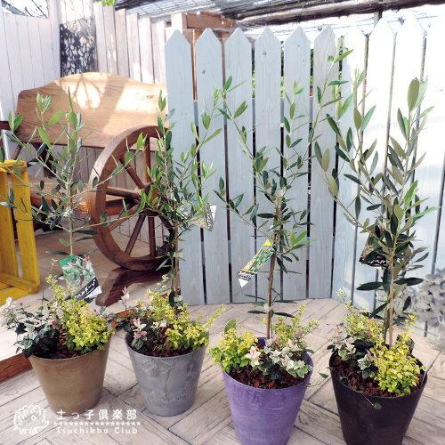 『 オリーブと季節の寄せ植え 』 22cm鉢植え