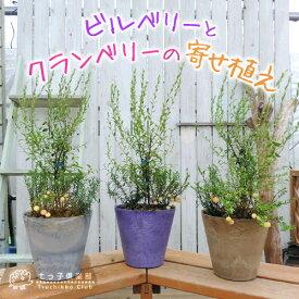 ビルベリーとクランベリーの寄せ植え ( アートストーン22cm鉢植え )