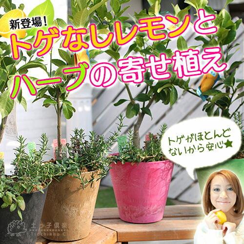 トゲなしレモンとハーブの寄せ植え(アートストーン22cm鉢植え)