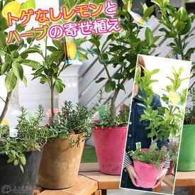 トゲなしレモンとハーブの寄せ植え ( アートストーン22cm鉢植え )