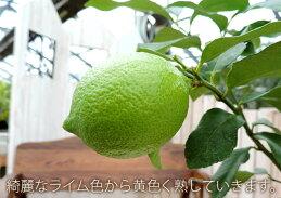 トゲなしレモンとハーブの寄せ植え