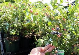 ブルーベリー2品種植え