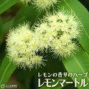 レモンの香りの『 レモンマートル 』 10.5cmポット苗