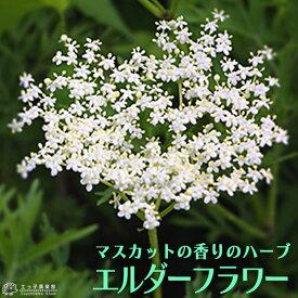 エルダーフラワー ( 西洋ニワトコ ) 細葉 9cmポット苗