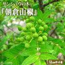 山椒 『 朝倉サンショウ 』 12cmポット接木苗 ( 2年生 )
