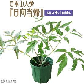 日本山人参 『 ヒュウガトウキ ( 日向当帰 ) 』 6号スリット鉢植え