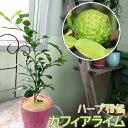 ハーブ柑橘 『 カフィアライム ( こぶみかん ) 』 9cmポット苗