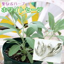 ホワイトセージ 6号スリット鉢植え 大苗