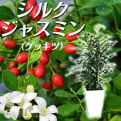 シルクジャスミン ( ゲッキツ ) 7号角鉢植え 【 無料包装 】