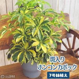 斑入りホンコンカポック ( シェフレラ ) 7号鉢植え