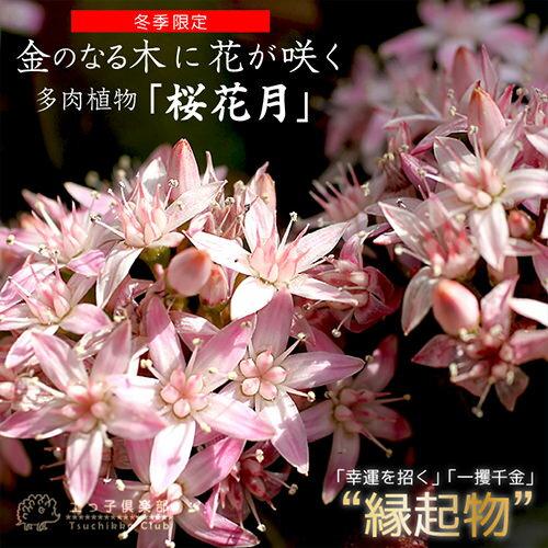 花咲く多肉植物 『 桜花月 』 ( サクラカゲツ ) 11cm鉢 正月 縁起物 ≪ 花芽付き ≫